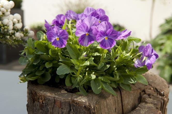 Fioletowe kwiaty ogrodowe: bratki ogrodowe