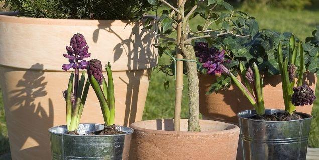 Rośliny cebulowe: gdzie posadzić cebule - hiacynty w donicach