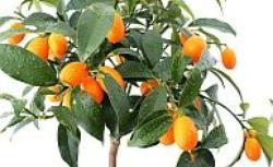 Kumkwat, kalamondyna i inne cytrusy. Uprawa roślin egzotycznych w domu